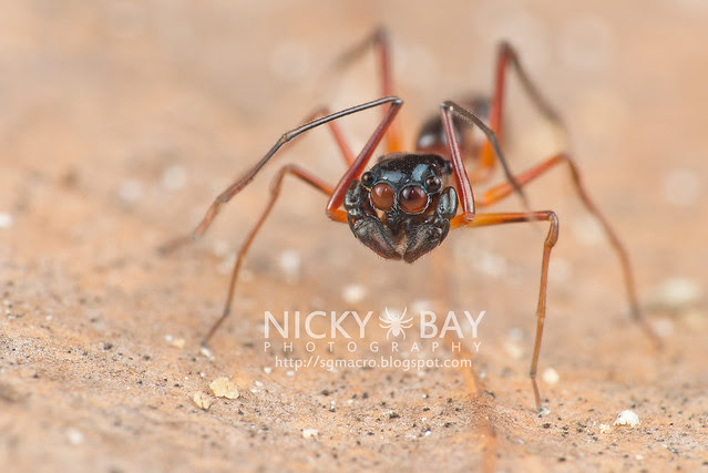 Kerrengga Ant-Like Jumper (Myrmarachne plataleoides) - DSC_8519