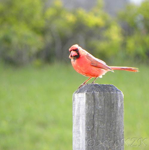 DSCN5236_2 Male Cardinal