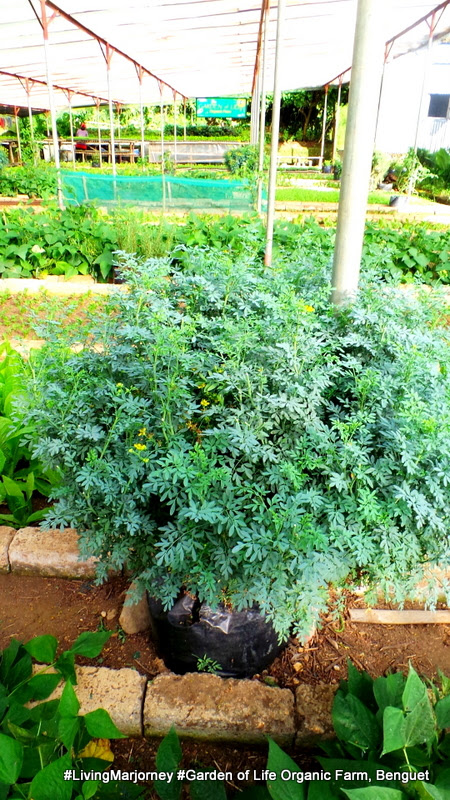Dora Plant at The Garden of Life Organic Farm