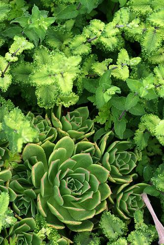 aeonium lancerottense and teucrium scorodonia crispum marginatum