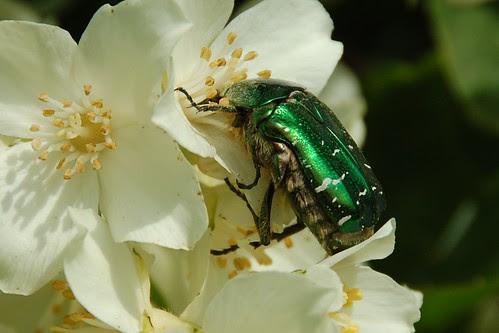 rose chafer beetle on mock  orange