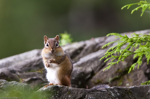 フリー画像動物写真哺乳類小動物リス科リスシマリスフリー素材