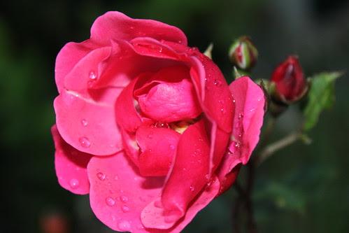 301/365:2010 October Rose