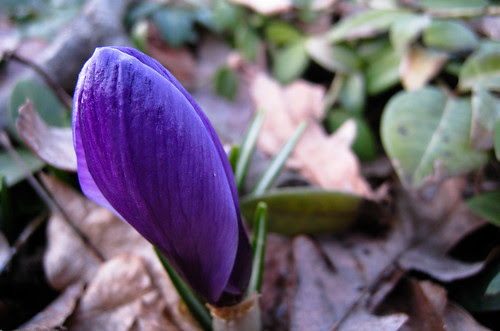 purple crocus, a sure sign of spring