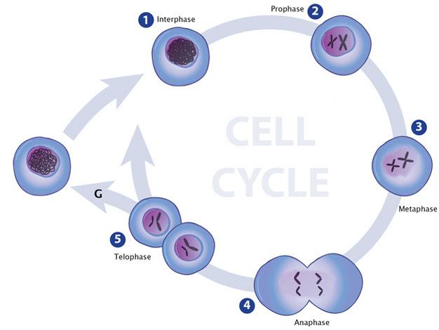 Cambios condensación de la cromatina durante el ciclo celular.