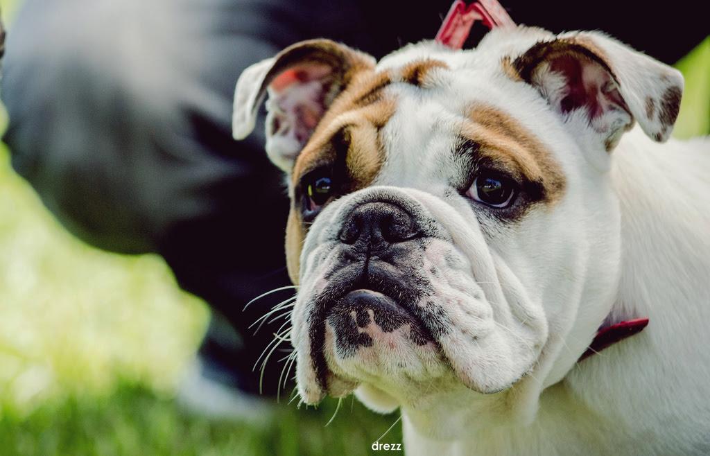 Embarazo Parto Y Cachorros De Bulldog Inglés Noticias De Perros