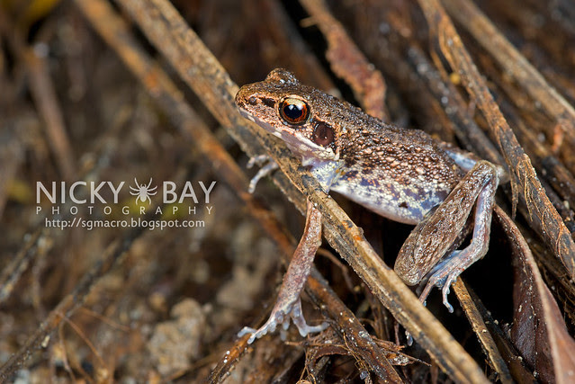 Masked Rough-sided Frog (Pulchrana laterimaculata) - DSC_6934