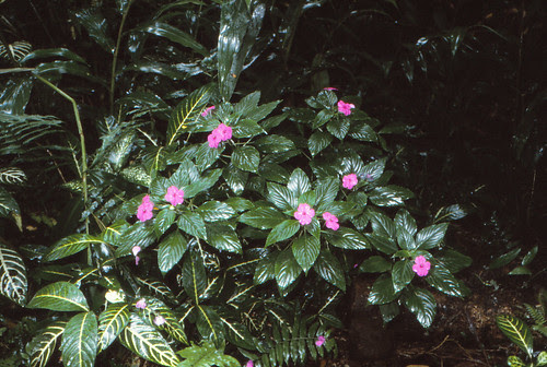IMG_00735_Pink_Flowers_in_Rain_Forest