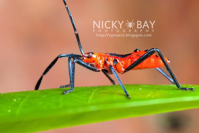 Plant Bug? (Miridae?) - DSC_3207