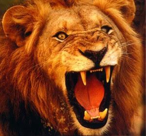A Lion Roars