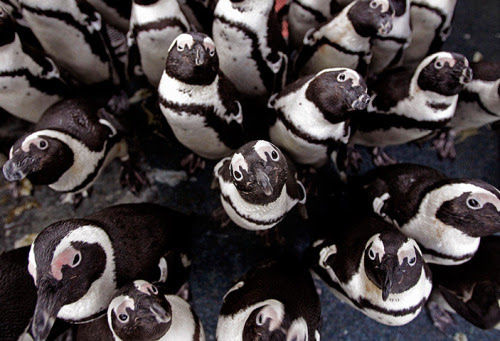Cape Town, South Africa: African penguins gather to keep warm at the South African Foundation for the Conservation of Coastal Birds. Photograph: Schalk van Zuydam/AP