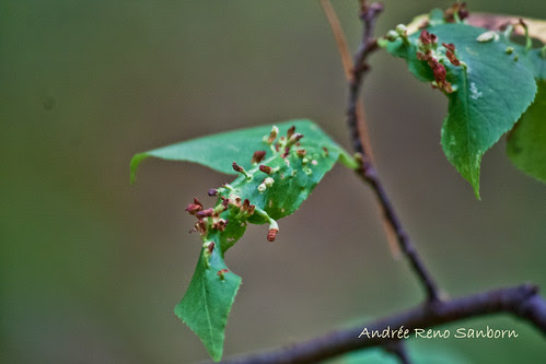 Wild Cherry Nipple Gall caused by eriophyid mites-3.jpg