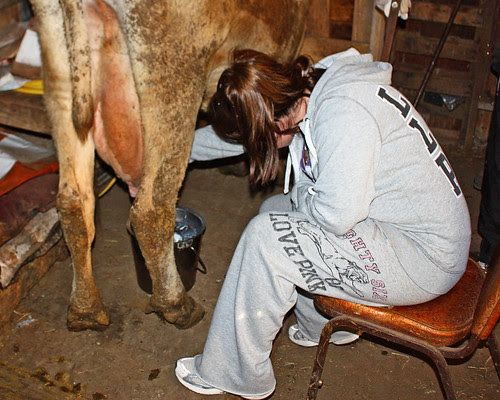 Getting milking experience.