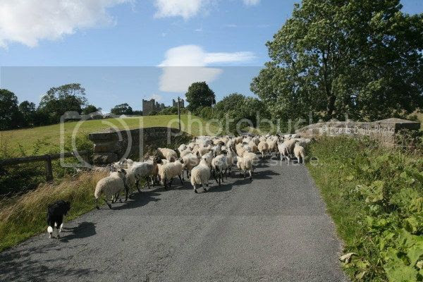 SheepYorkshireDalesTrafficJamsm
