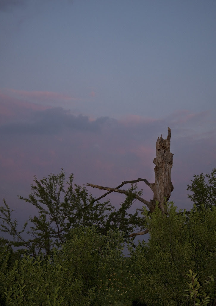 dead tree sunset