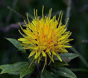 The suetsumuhana (safflower)