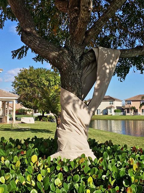 Sapsucker tree with drape 20140302