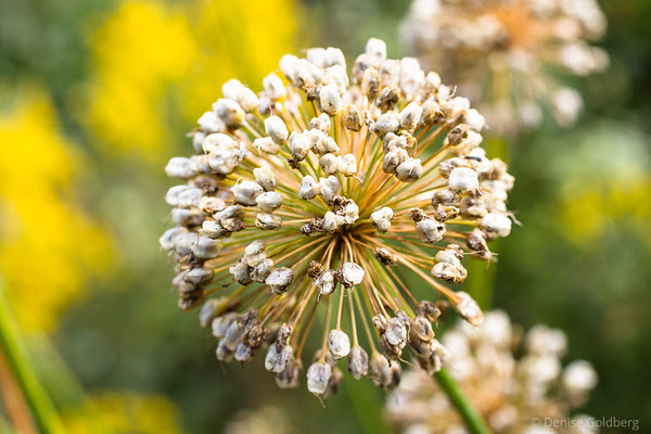 an allium gone to seed