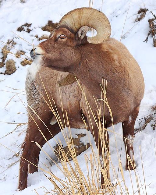 IMG_5200 Bighorn Sheep, Yellowstone National Park