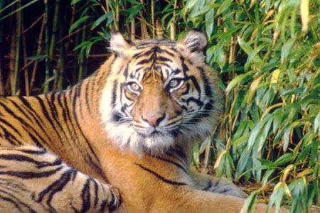 Πώς απέκτησαν ρίγες οι τίγρεις;