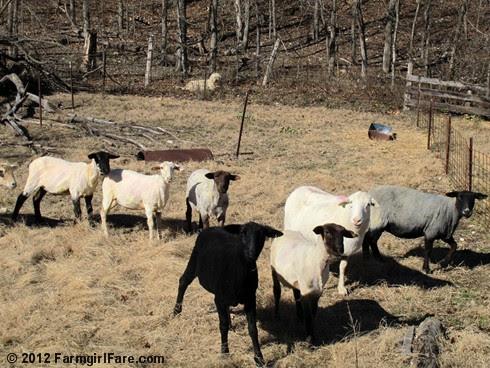 2012 Sheep shearing day 42 - FarmgirlFare.com