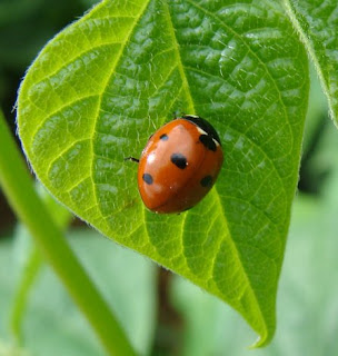 Ladybird on bean leaf