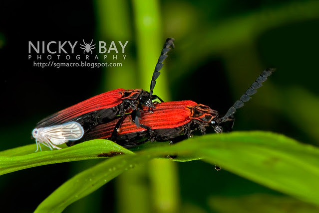 Net-Winged Beetles (Lycidae) - DSC_2420