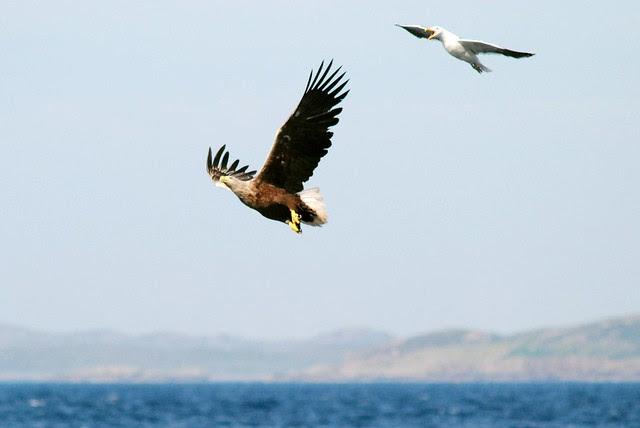 Sea Eagle, Skye