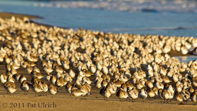 Shorebird flock at sunrise - Pat Ulrich Wildlife Photography