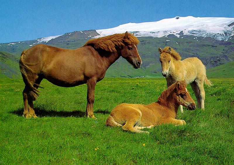 http://islandia.foroactivo.com/t152-el-caballo-islandes