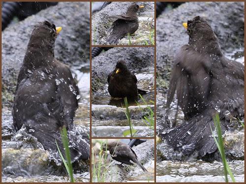 Blackbird Bathing 21