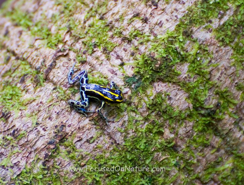 Amazonian Poison Dart Frog