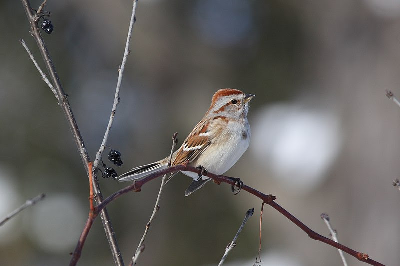File:American Tree Sparrow.jpg