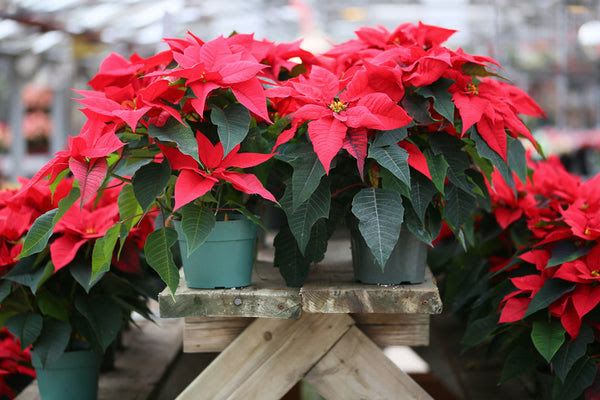 Poinsettia Fast Facts And Easy Care Instruction Orchid Republic