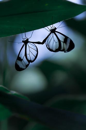 Glasswing Butterflys por M A T T H I E U S ☢ U D E T