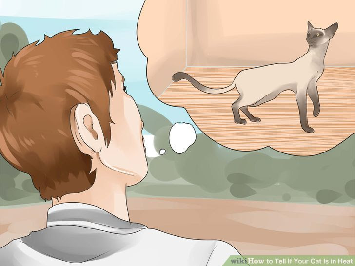 Tell if Your Cat Is in Heat Step 8.jpg