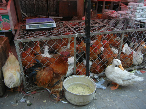 Live Chickens and Ducks in Farmer's Market, Shenyang, China _ 0439