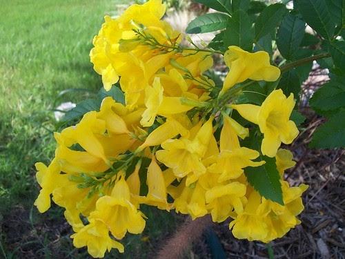 San Antonio Tx Daily Photo Yellow Flowering Bush