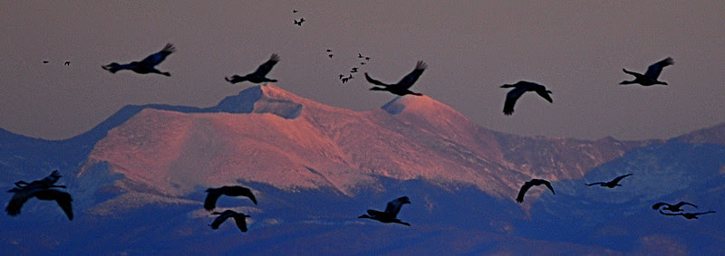 Migrating Sandhill Cranes take to the sky above Culebra and Red Mountain