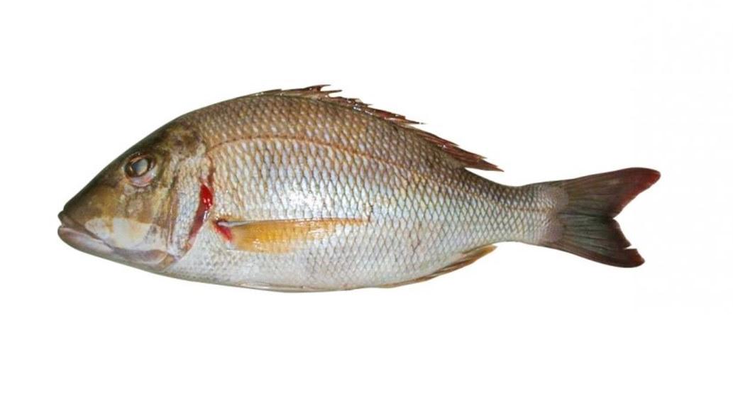 Ikan Kaci
