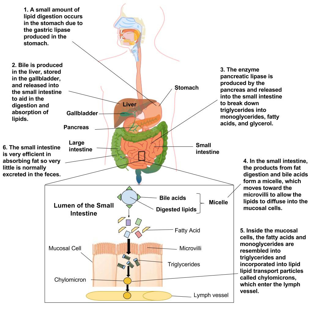 Lipid Digestion and absorption - Human Nutrition [DEPRECATED]