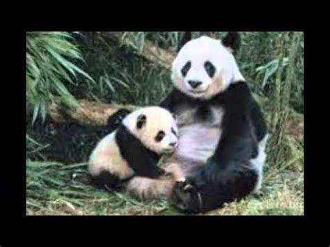 panda imut youtube