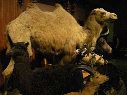 Domestic camel alpaca goat and fancy pigeons created by selective breeding