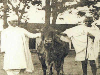 Mahatma and Malviya with the champion cow Jill