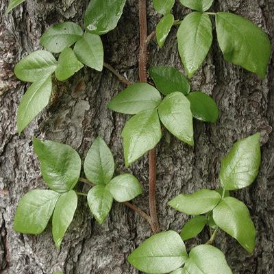 poison oak ivy sumac. Poison Oak: Like its ivy
