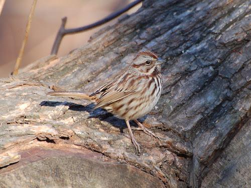 Sparrow in Central Park Ravine