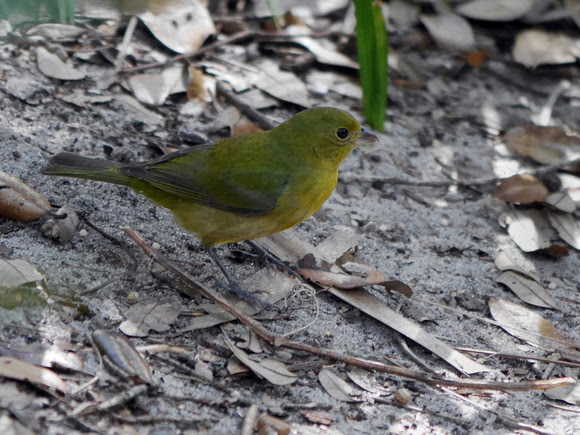 Ed Gaillard: birds &emdash; Painted Bunting, Green Cay