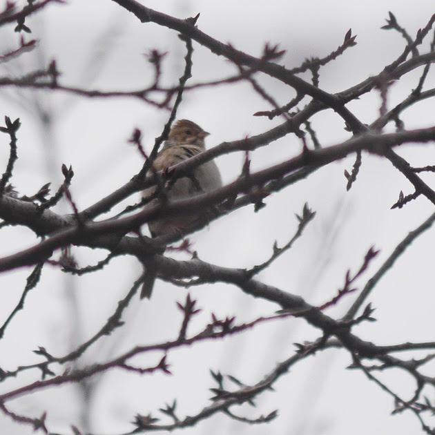 Ed Gaillard: birds &emdash; Clay-Colored Sparrow, Flushing Meadow Park