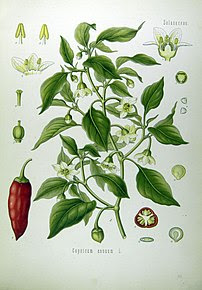 Illustration Capsicum annuum0.