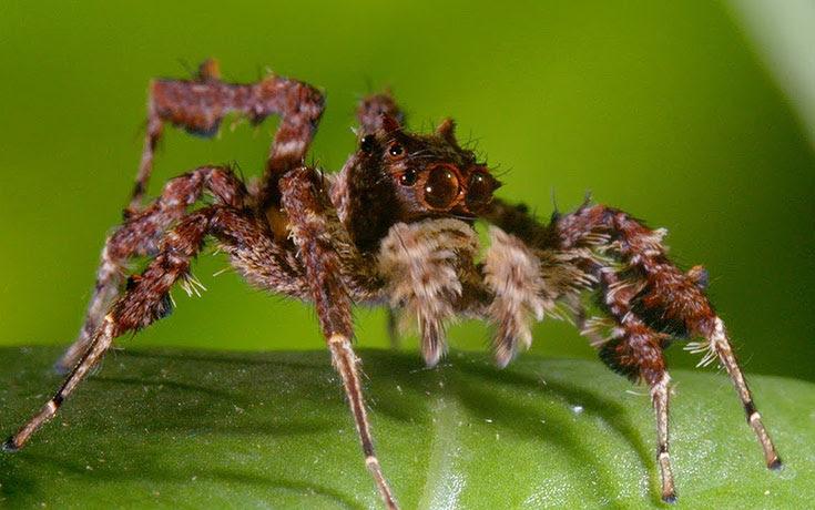 Αράχνη δολοφόνος σε ένα επικό βίντεο από το BBC